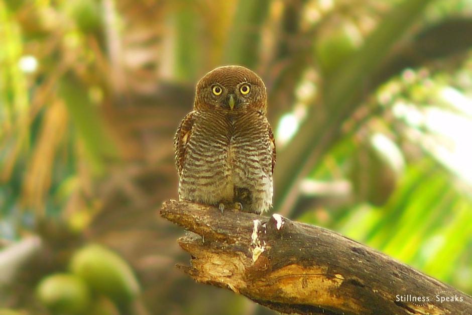 Barred Jungle Owl