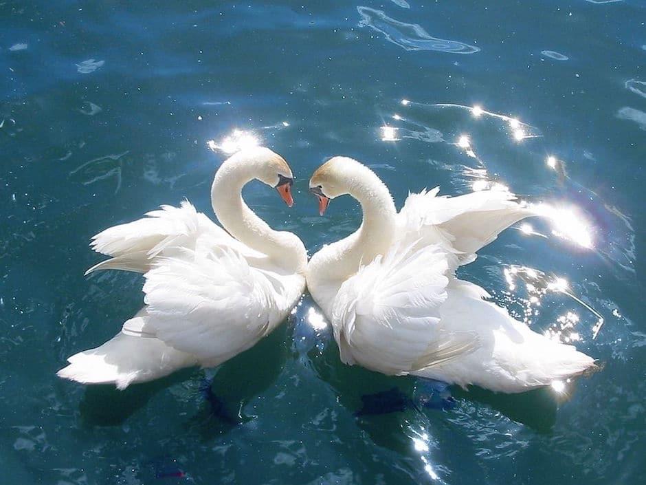 swan advaita