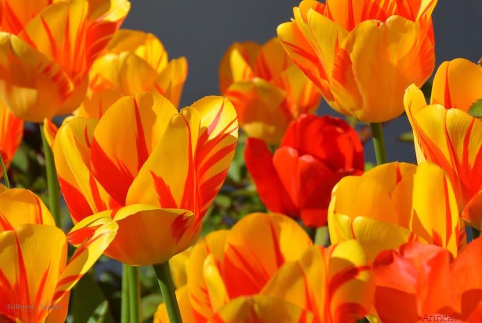 Tulips, awaken