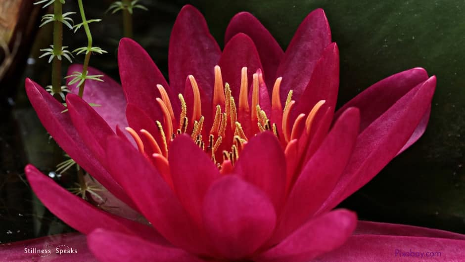 meditation, water lily, awake