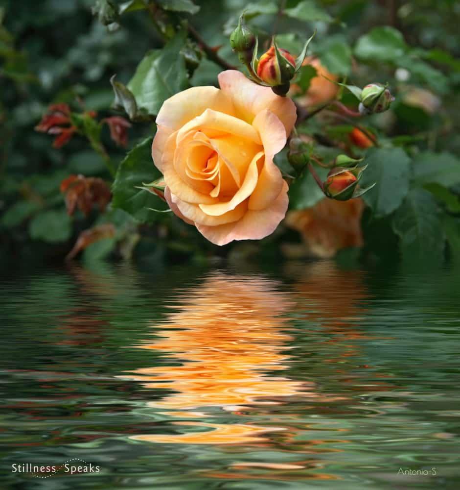 rose laughing rumi