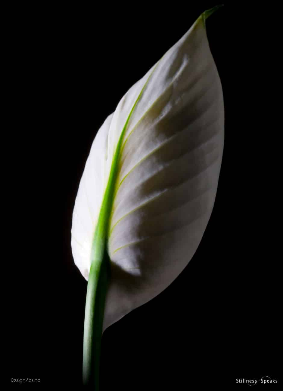 world peace lily
