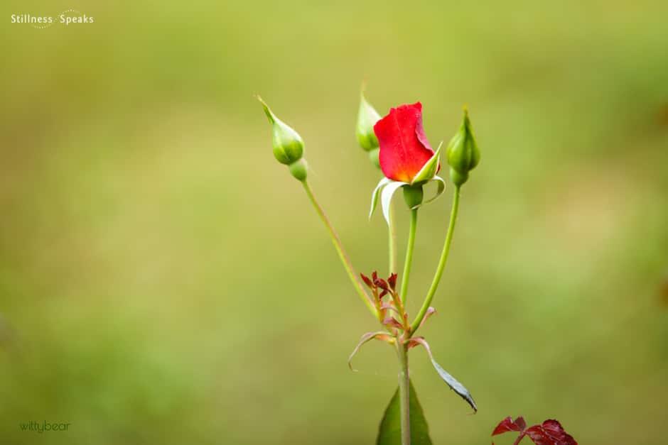 rose enlightenment