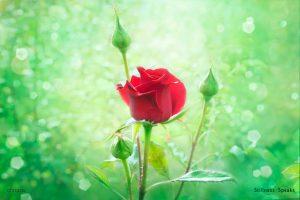 roses death tollifson