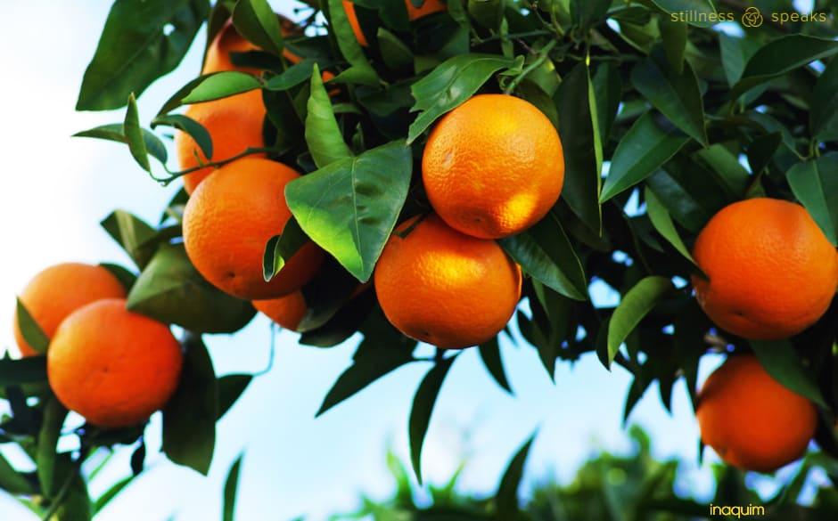 orange tree thich nhat hanh