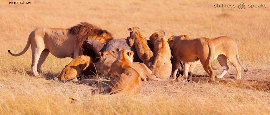pride lions eating prey tollifson