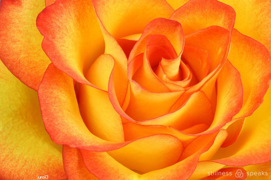 open rose rumi